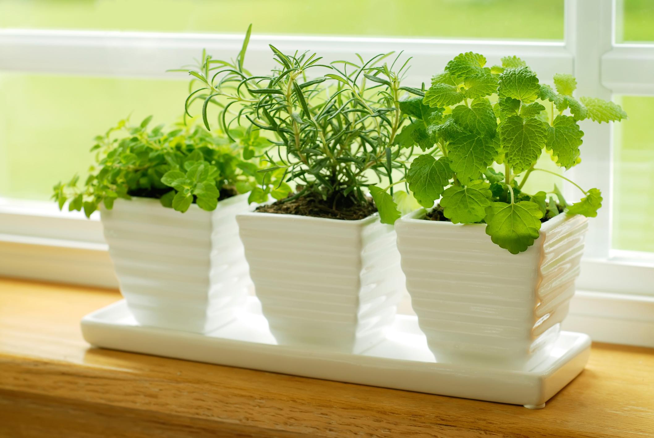 Green herbs on a window sill